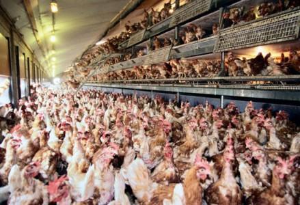 Troppi antibiotici negli allevamenti